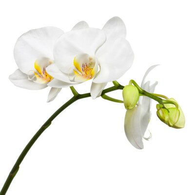 Wall mural Three day old white orchid isolated on white background.