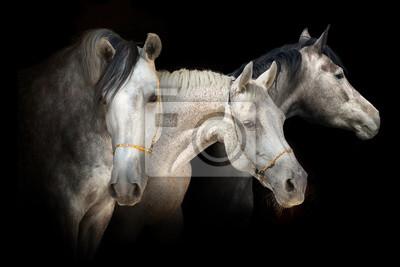 Three horse portrait on black background