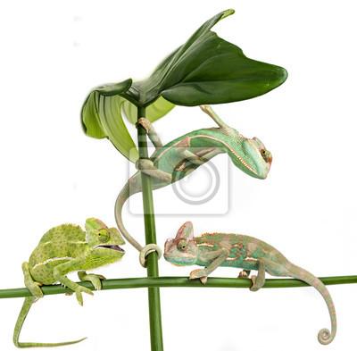 three little chameleons - Chamaeleo calyptratus on white