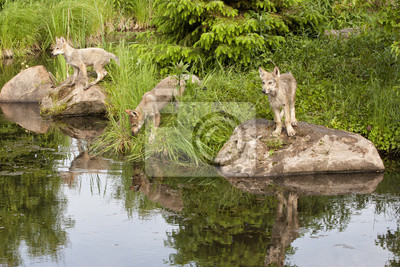 Wall mural Three Wolf Puppies by the Water