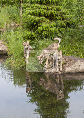 Wall mural Three Wolf Pups with Reflections in Lake
