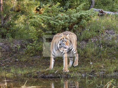 Tiger at the Edge of the Forest