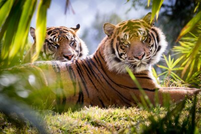 Wall mural Tiger Brothers