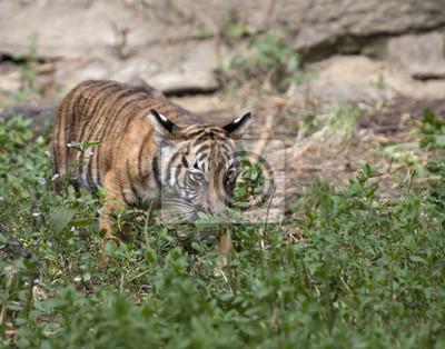 Tiger Cub in Underbrush