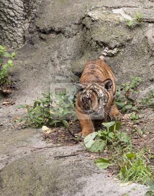 Wall mural Tiger Cub Intensity
