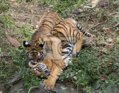 Tiger cubs wrestling