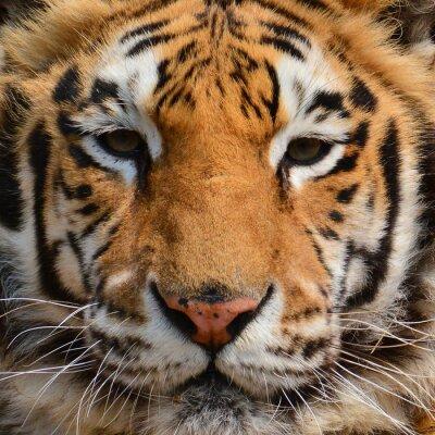 Wall mural Tiger face Closeup