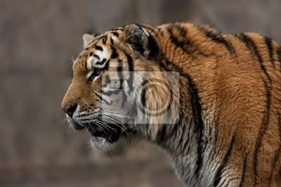 Tiger Head and Shoulders