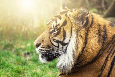 Wall mural Tiger im Seiten Profil mit Sonne im Gesicht