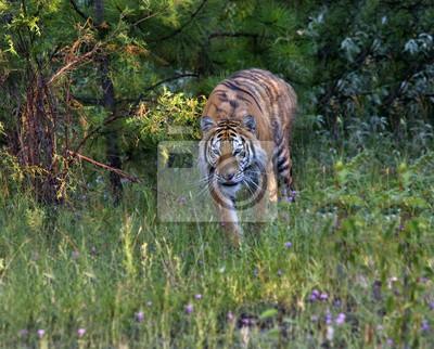 Tiger in Stalking Position