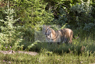Wall mural Tiger in the Clearing