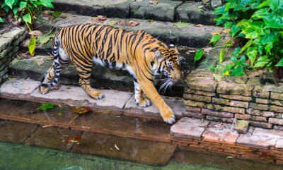 Wall mural Tiger near waterhole