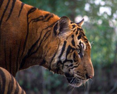Wall mural Tiger, portrait of a bengal tiger