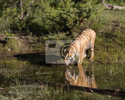 Wall mural Tiger Reflection