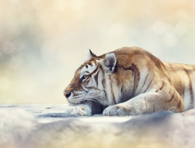 Wall mural Tiger resting on a rock