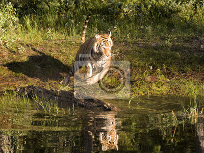 Wall mural Tiger Running into water with reflection