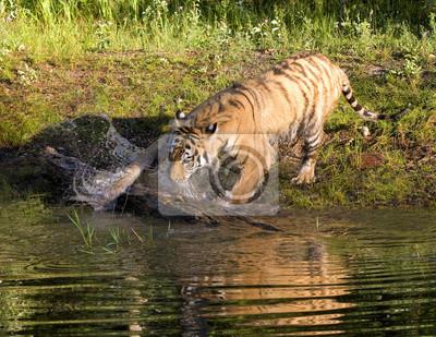 Tiger Splashing