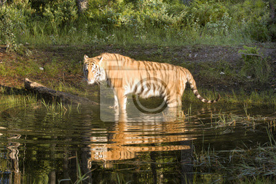 Wall mural Tiger Standing in Water