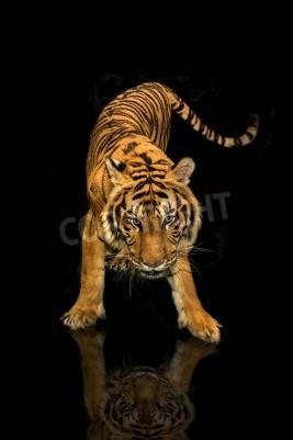 Wall mural tiger walking black background