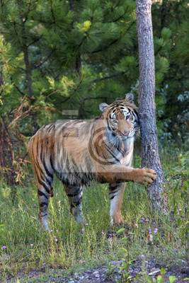 Tiger with Paw on Tree Trunk