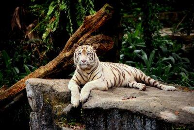 Wall mural tigre allongé