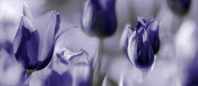 Wall mural tinted tulips concept