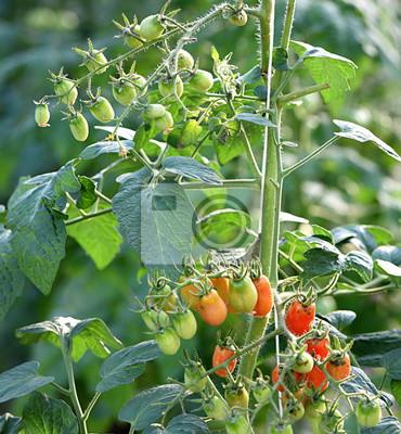 tomates...cherry