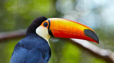 Wall mural Toucan on the branch in tropical forest of Brazil