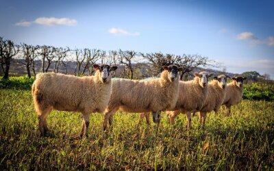 Wall mural Tradycyjne Angielskie Owce