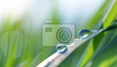 Wall mural Transparent drops of water dew on grass close up. Spring nature background.