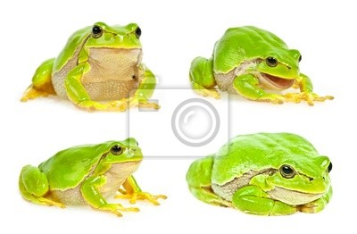 tree frog isolated - collection