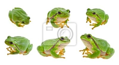 Wall mural tree frog isolated on white background