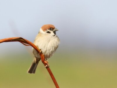 Wall mural Tree Sparrow on branch, Passer montanus