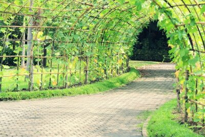 Wall mural Tree tunnel of Angled Luffa plant