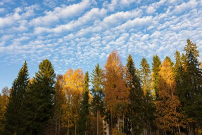 Trees against cirrocumulus clouds sky