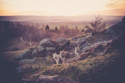 Wall mural Tschechoslowakisches Woflshundrudel freilaufend im Gebirge
