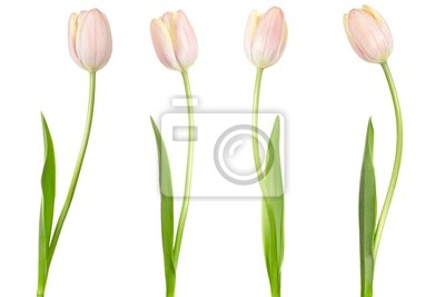 Wall mural Tulip collection