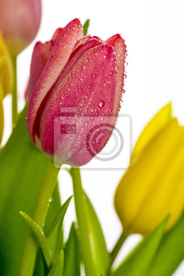 Wall mural Tulip flower with dew drops