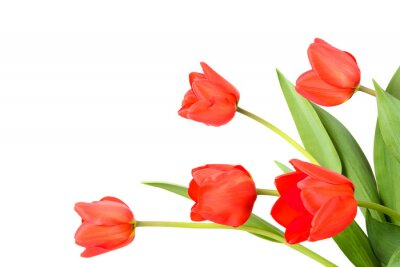 Wall mural Tulips on a white background