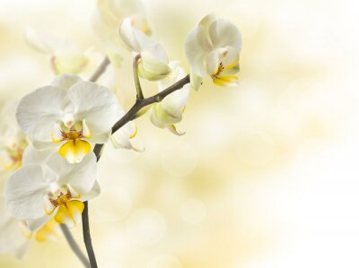 Wall mural twig blossoming orchids