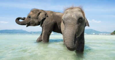 Wall mural Two baby elephant in the sea. Banner edition.