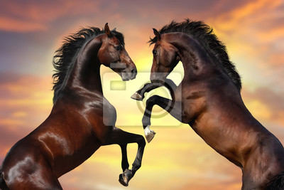 Two bay  stallion  with long mane rearing up against sunset sky