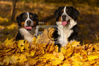 Two berner dog sitting in leaves