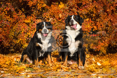 Two bernese dog sit  in orange leaves in park