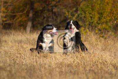 Two bernese dog sitting
