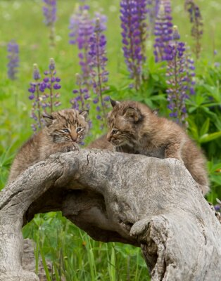 Wall mural Two bobcat Kittens with a Background of Purple Flowers