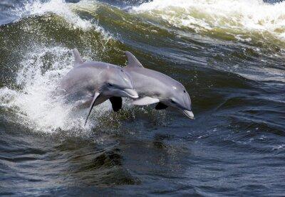Wall mural Two Bottlenose Dolphin (Tursiops truncates)