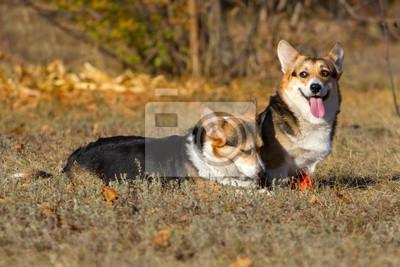 Two corgi pembroke dog  in park