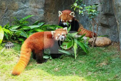 Wall mural Two cute red pandas eating bamboo