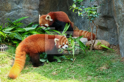 Wall mural Two cute red pandas eating bamboo